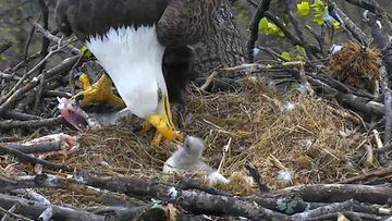 © 2016 American Eagle Foundation, EAGLES.ORG