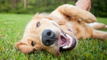 koira iloinen