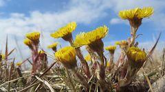 Kevät etenee vauhdilla etelässä – leskenlehtiä ja nokkosperhosia bongattu