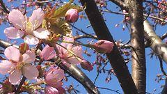 Puut lehdess� ja kev�tkukat parhaimmillaan - l�mp�aalto her�tti luonnon hetkess�