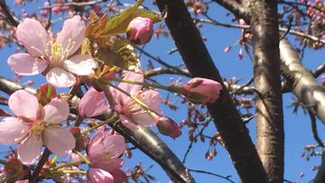 Kirsikkapuu, kevät