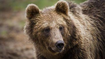 karhun lähis