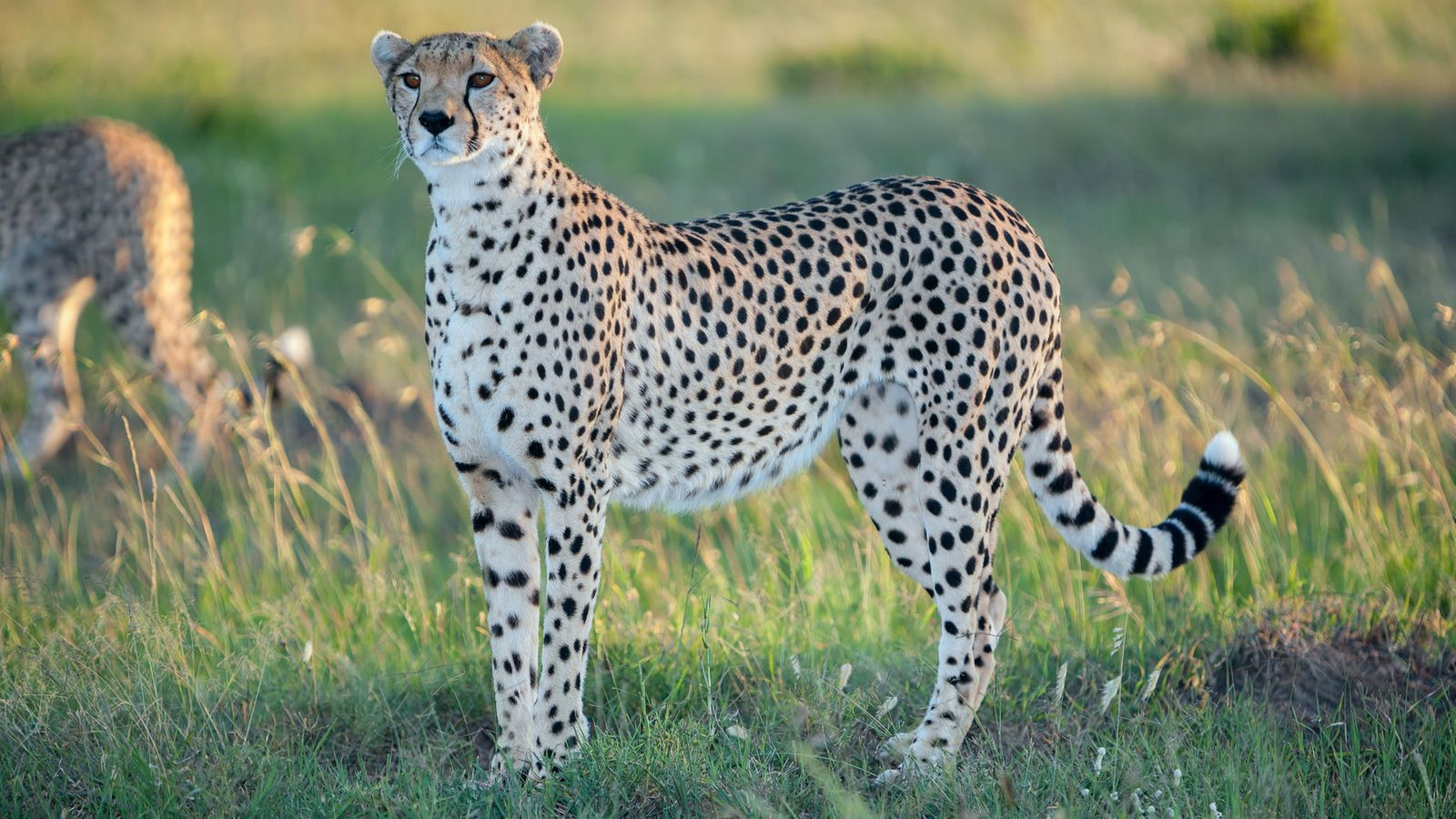 Gepardin Huippunopeus