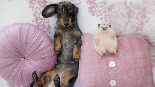 Tätä söpöyttä et kestä: Koiran ja siilin ystävyys sulattaa sydämen - Lifestyle - MTV.fi
