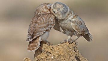 Pikkupöllöjen pusutuokio