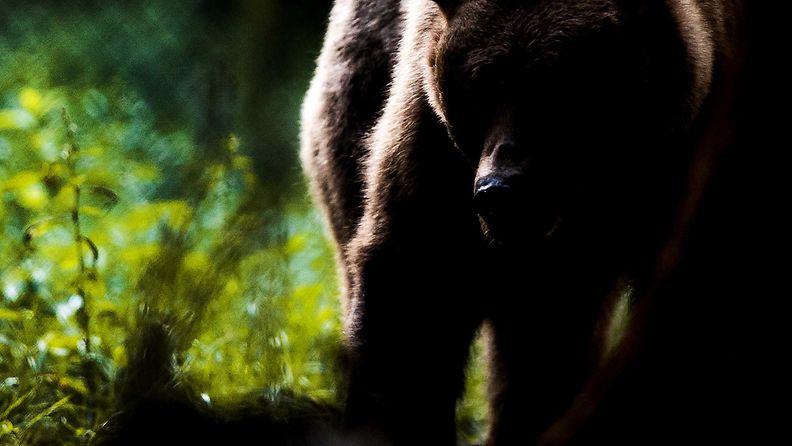 Karhu. Kuvituskuva.