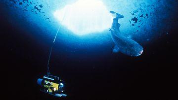 Maailman Vanhin Hai
