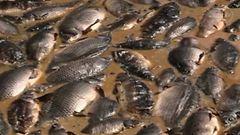Video: Kalat kiehuvat el�v�lt� Ven�j�ll� – tappohelteet johtaneet massakuolemiin