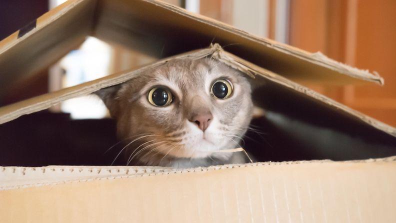 kissa, pahvilaatikko