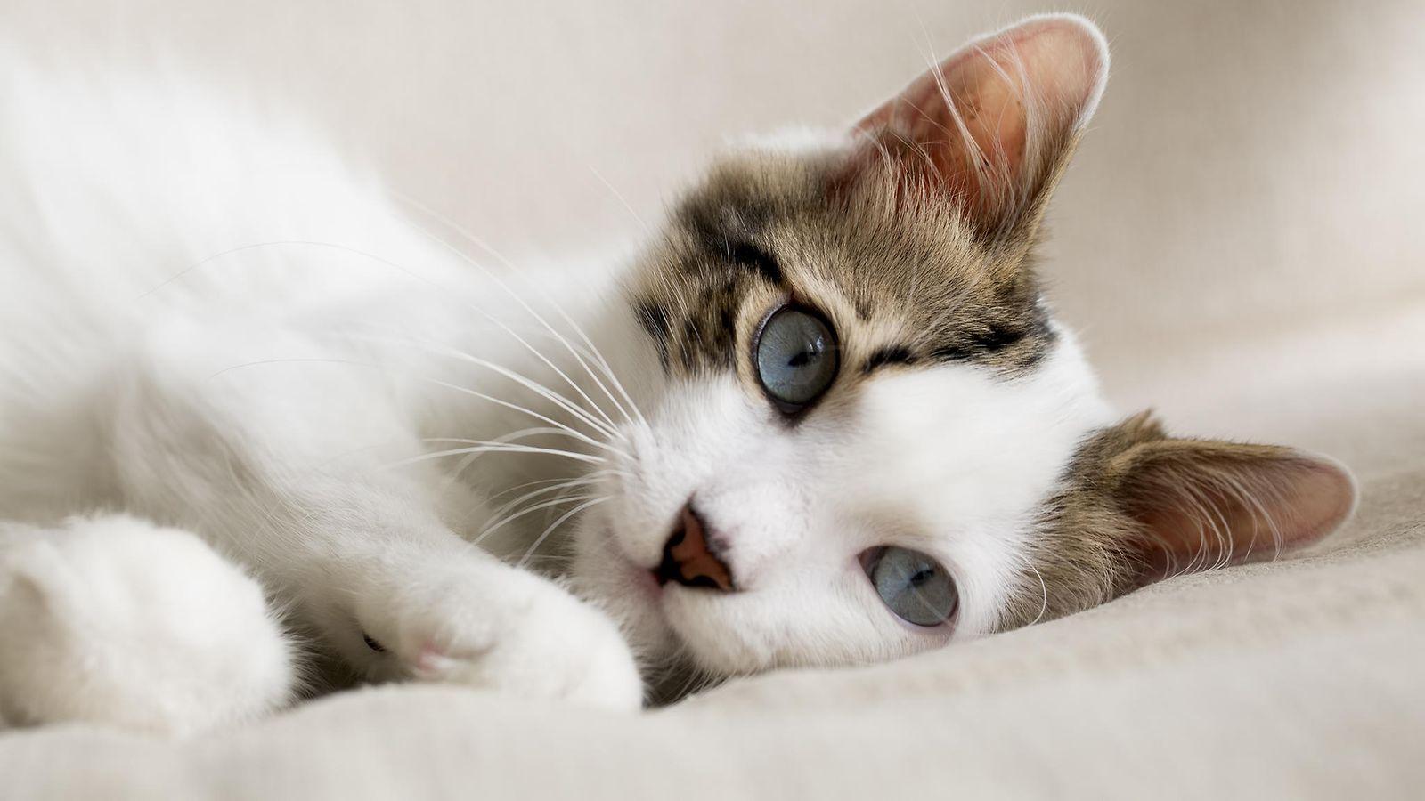 Kissan Eleet Ja ääntely