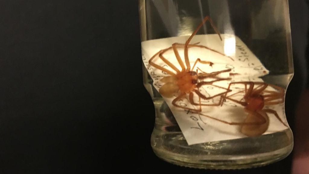 Myrkyllisin Hämähäkki