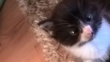 kalle-kissa