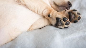koira nukkuu