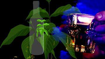 ayahuasca juoma