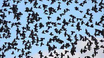 Linnut, kottaraiset, muuttolinnut