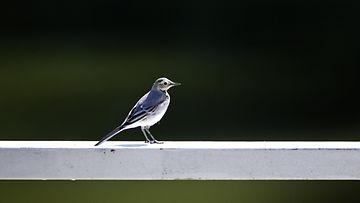 linnut, lintu, muuttolinnut, västäräkki