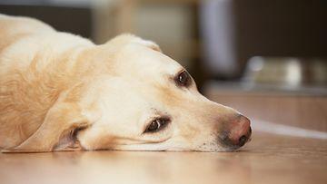 koira masentunut