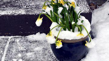 narsissi,-kukka,-pääsiäinen,-pakkanen