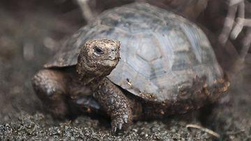 galapagossaarten kilpikonnat