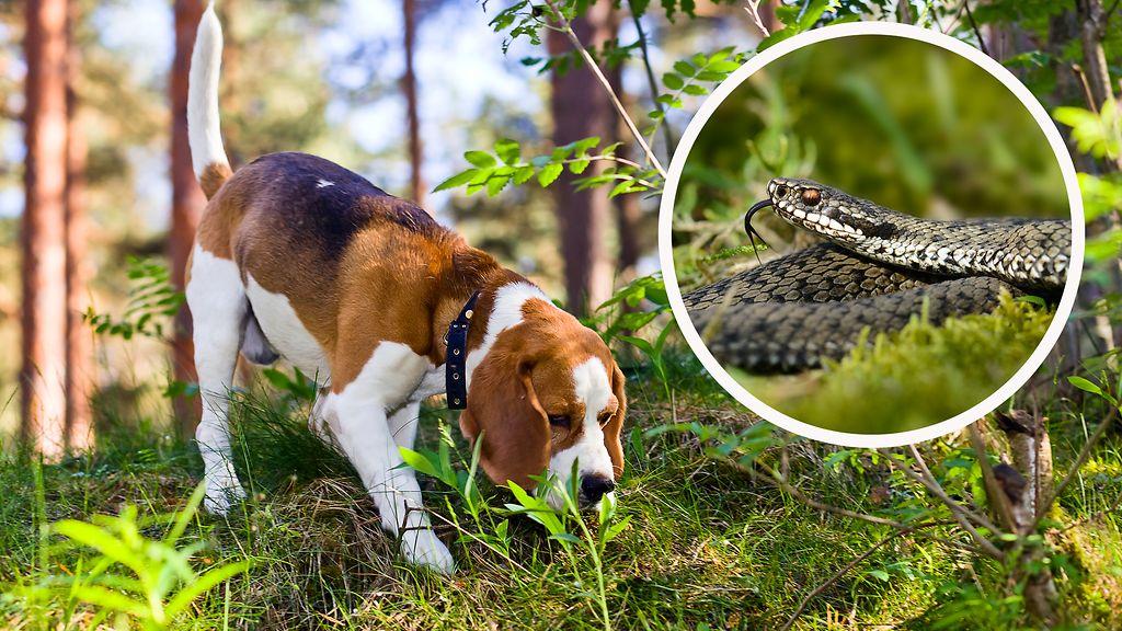 Kuvahaun tulos haulle käärmeenpurema koira