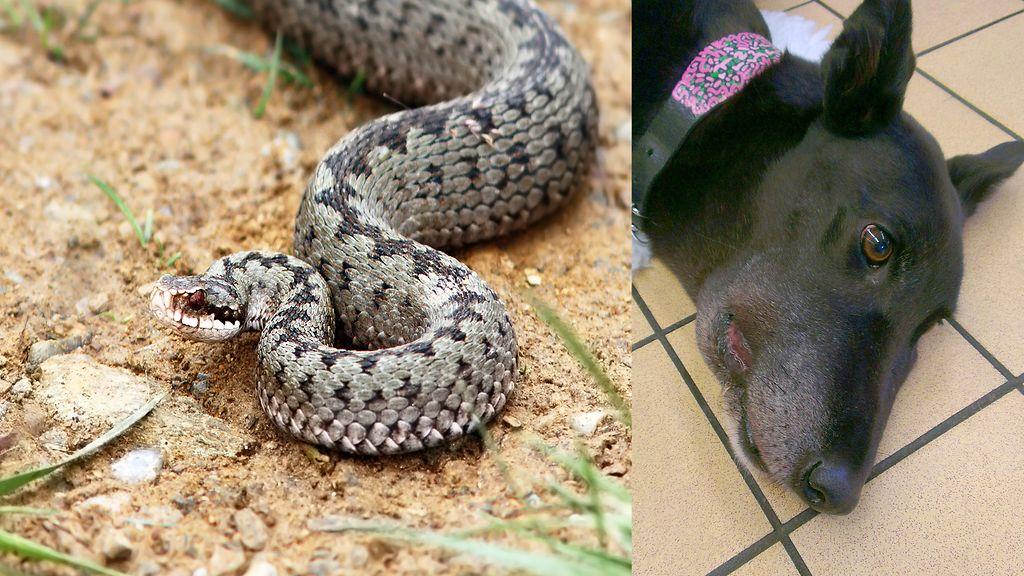 käärmeen purema koiralla