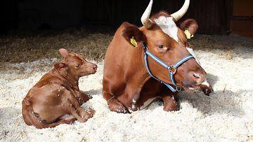 Lehmä ja vasikka kuva 2