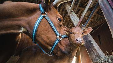 lehmä ja vasikka kuva