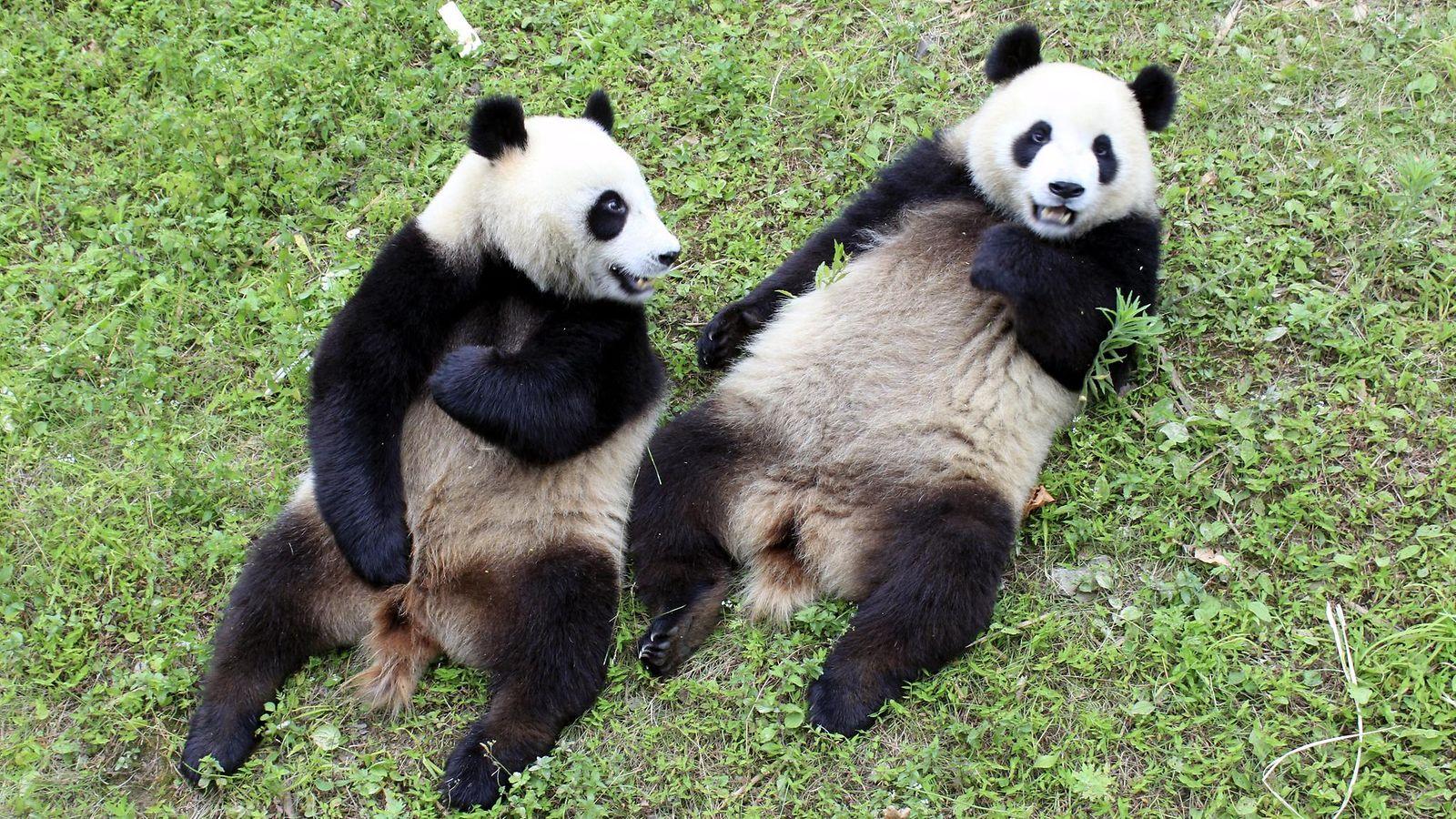 Ähtäri saa pandansa joulukuussa – uusi pandatalo maksaa miljoonia  Kotimaa
