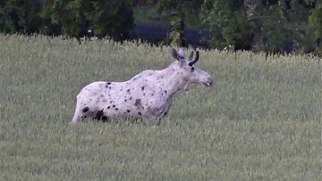 Uskomaton näky viljapellossa: Pia bongasi täplikkään valkoisen hirven – kuin Peppi Pitkätossun ...