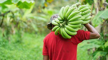 banaani viljelijä