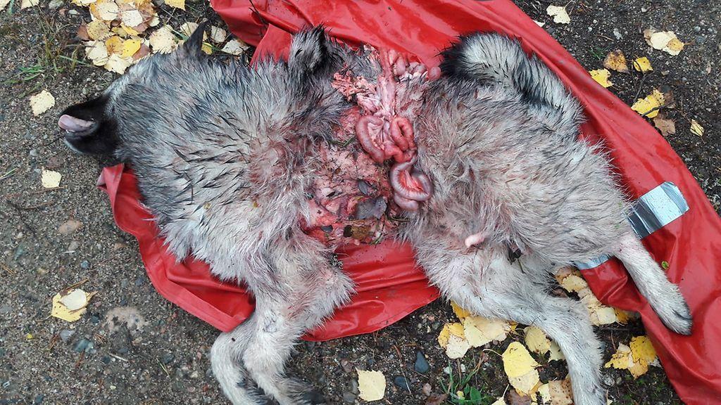 Kuollut Koira
