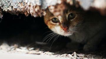 hylätty kissa