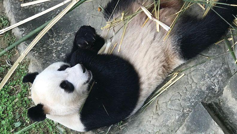Panda_7