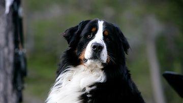 koira berninpaimenkoira aop