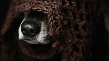 koira, peitto