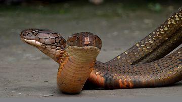 Käärme Söi Ihmisen