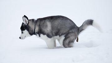 koirankakka