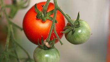 AOP tomaatti kasvihuone puutarha 1.03425787