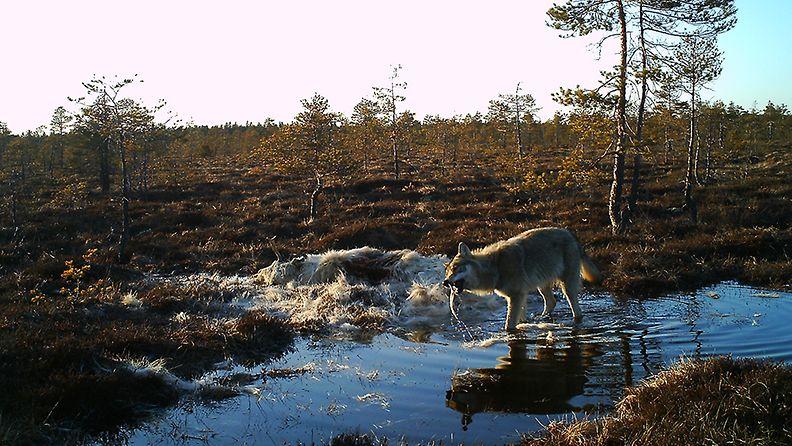 Susi, Nurmijärvi, valkoinen hirvi (1)
