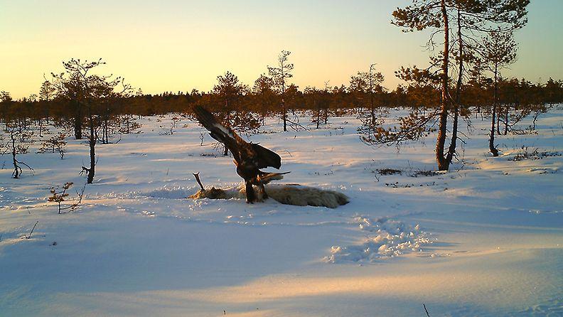 kotka, Nurmijärvi, valkoinen hirvi