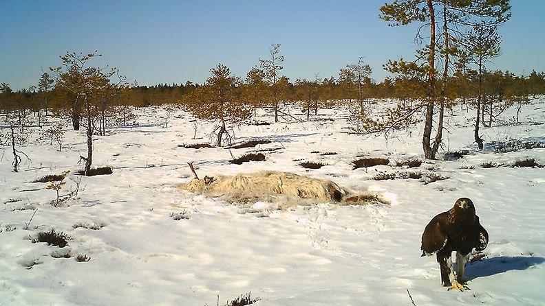 kotka, Nurmijärvi, valkoinen hirvi (1)