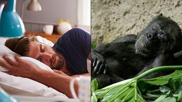 simpanssi, ihminen, sänky