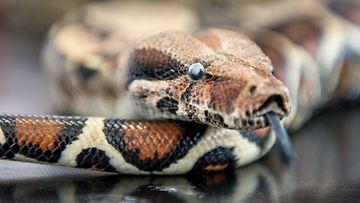 boa, käärme