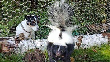 Wilma, skunkki.