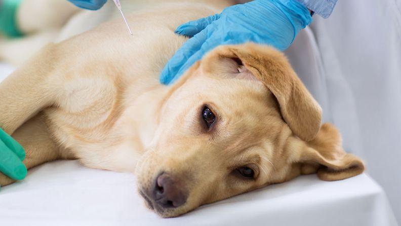 koira, eläinlääkäri