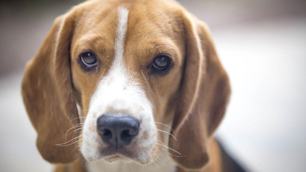 Beagle Koira