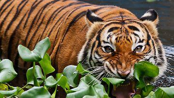 AOP, malesiantiikeri, tiikeri, kissaeläin, peto