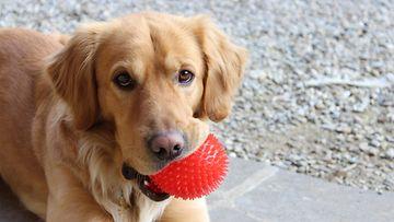 kultainennoutaja, pallo, koira
