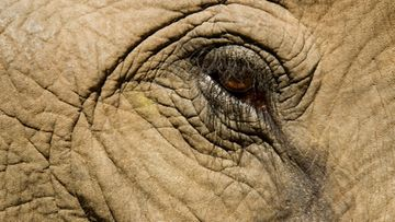 norsu elefantti