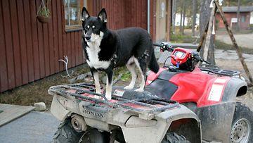 traktorimönkijä koira